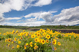Arrowleaf Balsamroot Wildflowers at Rowena Crest