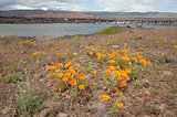 California Poppy Flowers by The Dalles Bridge