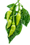 fresh green guinea-pepper (bird-chilli)