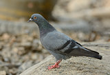 male Rock Pigion (Columba livia)