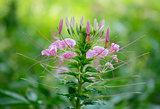 Spider Flower flower (Cleome spinosa)