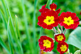 closeup of beautiful red primrose