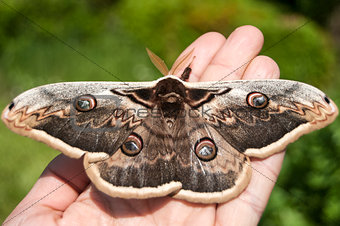 Giant Peacock Moth
