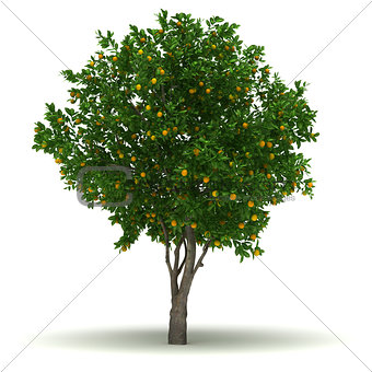 Single Orange Tree