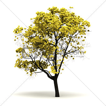 Single Tabebuia Chrysantha Tree