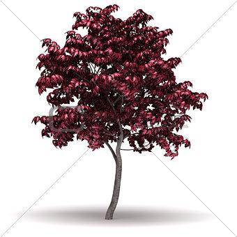 Single Japanese Maple Tree