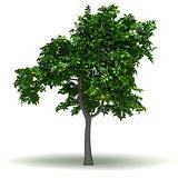 Single Lemon Tree