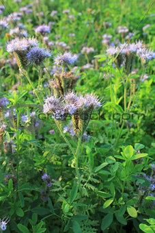 Blomming Phacelia tanacetifolia- bee pasture