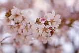 japan sakura cherry blossom