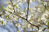 white flowers on cherry or plum bush