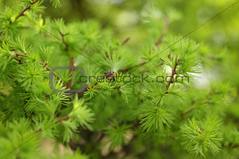 small larix tree leaves close up