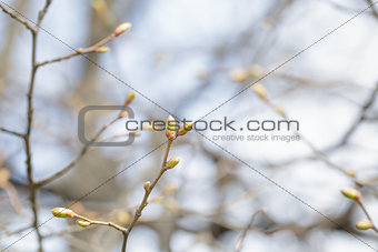 Tilia cordata first buds