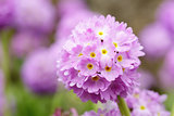 Primula denticulata blossom in the garden