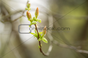 acer tataricum first buds and leaves
