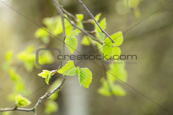 first spring birch leaves
