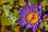 Purple Lotus with Bee