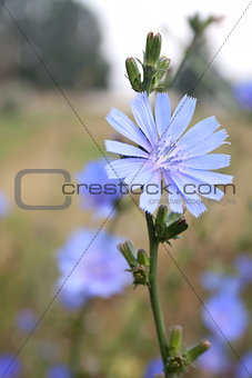 Single chicory flower