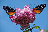 Syringa vulgaris with 2 Heliconius hecate butterflies