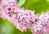 Pink lilac branch on green leaves in spring closeup