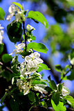 White flowers of apple tree