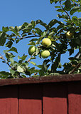 Green apples behind garden fence