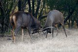 Two Sambar deer fighting