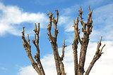 Pruned Tree on a Blue Sky