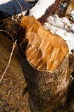 Tree Stump Cut by a Beaver