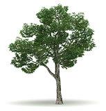 Single Chinar Tree
