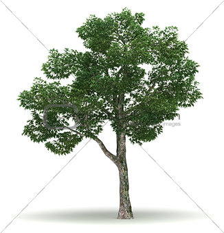 Single Chinar Tree
