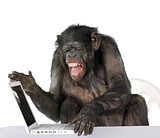 Portrait of Chimpanzee playing with a laptop, studio shot