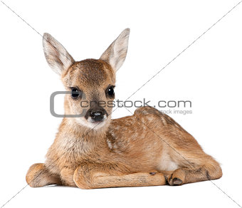 Portrait of Roe Deer Fawn, Capreolus capreolus, 15 days old, sitting against white background, studio shot
