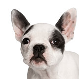 Portrait of French bulldog, studio shot