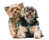 couple of Yorkshire Terrier, sitting (7 years old)
