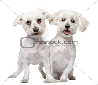 two maltese dog (3 and 5 years old)