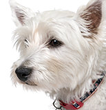 West Highland White Terrier (1 year old) portrait.