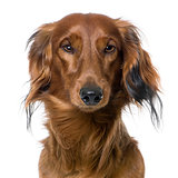 close-up on a dog's head, Dachshund, front view