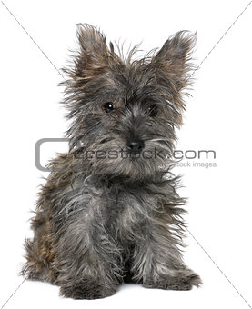 black Yorkshire Terrier puppy sitting