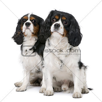 Couple of two Cavalier King Charles Spaniel (4 and 6 years old)