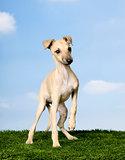 Italian Greyhound (3 months)