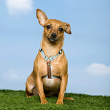Pinscher ( 2 years old)