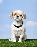 Mixed-Breed Dog between a shih-tsu and a pekingese (4 years old)