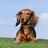 Dachshund puppy (5 months old)