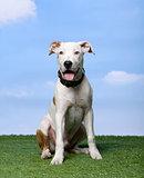 American Staffordshire terrier puppy (5 months)
