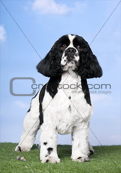 American Cocker Spaniel (2 years old)