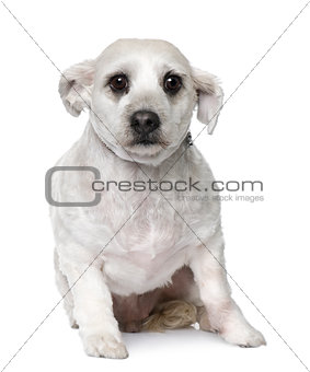 maltese dog (3 years old) sitting