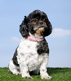 Shih Tzu (3 years old)