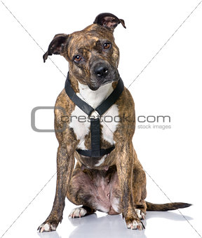 American Staffordshire terrier (4 years old) sitting