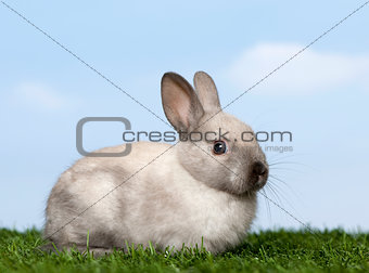 Grey Rabbit on grass against blue sky