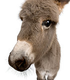 Close-up portrait of donkey foal, 2 months old, against white ba